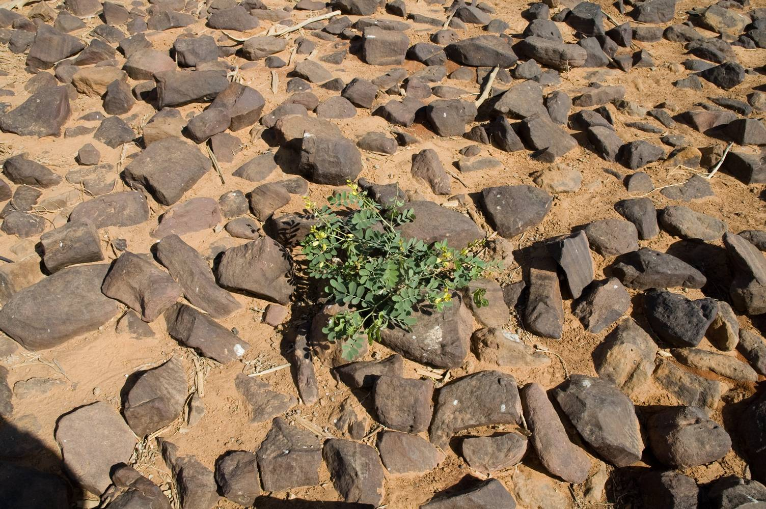List of desert plants